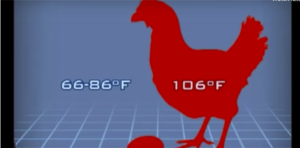 Image of a chicken