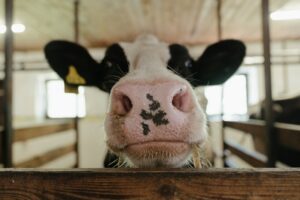 Image of the face of a black and white cow close to the camera