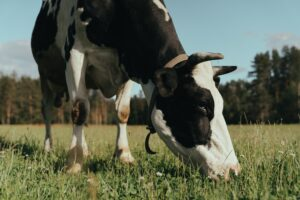 image of a cow leaning down to eat grass on a field